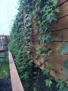 Forager Hop Garden